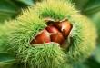 بالصور اجمل صور لنبات الكستناء 3076330519 a823c6ecf3 110x75