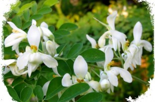 صوره عشبة المورينجا الذهبية وفوائدها