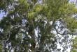 بالصور فوائد عشبة لسان الطير تعالج الخفقان والاسهالات المتنوعة 539px 700 yr red river gum02 110x75