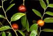 بالصور اهم فوائد نبات السدر 960170 110x75