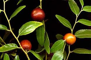 صوره اهم فوائد نبات السدر
