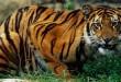 بالصور تفسير حلم النمر في المنام BengalTiger 110x75