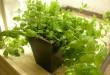 بالصور زراعة النعناع في المنزل alfriends 4c370db02c 110x75