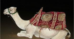 بالصور كيفية ذبح الجمل camel1 310x165