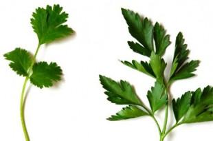 بالصور تفسير الكزبرة في المنام coriander parsley difference 971825 large 310x205