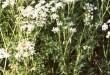 صوره استخدامات وخصائص نبات الكراوية