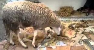 صوره كيفية ذبح كبش العيد