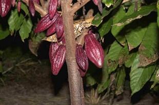 صوره شجرة شوكولاته او شجرة الكاكاو