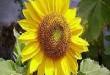 بالصور فوائد نبات الحب الشمسي imgres69 110x75