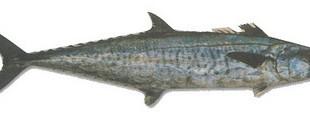 صوره معلومات عن سمك الدراك بالصور