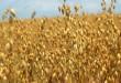 بالصور الشوفان بالفرنسية وما هى فوائده oats 110x75
