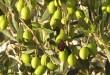 بالصور تعبير عن شجرة الزيتون للصف التاسع olive tree2 110x75