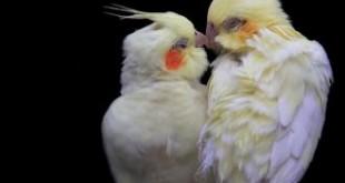 بالصور معلومات رائعة عن انواع الطيور اجمل انواع الطيور 310x165