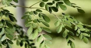 صوره فوائد عديدة لاعشاب المورينجا
