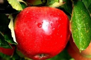 صوره حكاية التفاحة الامام ابو حنيفه