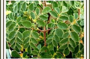 صوره فوائد اعشاب المورينجا للتخسيس