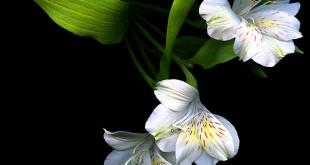 صور ما هي انواع الزهور ومعانيها