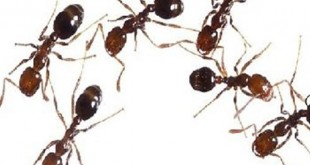 صوره وصفة للقضاء على النمل نهائيا