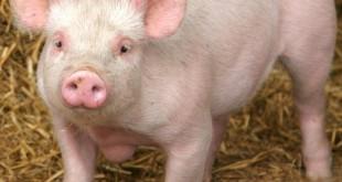 بالصور لماذا الخنزير لا ينظر الى السماء 3115845675 1 3 6Xinh051 310x165