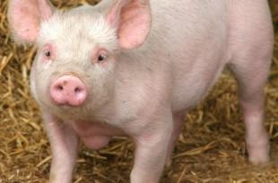 صوره لماذا الخنزير لا ينظر الى السماء