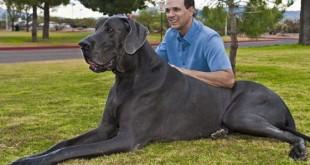 صوره اكبر كلاب في العالم