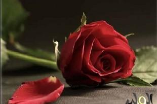 صوره اجمل واروع صور الورد