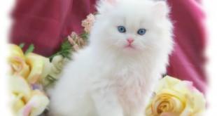 بالصور صورة قطط جميلة جدا 7fce0c3f384d7541222156777f0fbda1 310x165