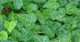 صوره نبات الهيدرا وزراعته في المنازل