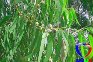 صوره شجرة الكينا وفوائدها الصحية