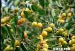 بالصور فوائد واستعمالات نبات السدر PIC 969 1354685429 110x75