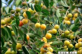 صوره فوائد واستعمالات نبات السدر
