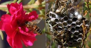 صوره الفرق بين النحلة والدبور