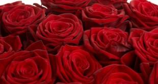 صور صور الورد الجوري وباقات الورد غاية فى الروعة