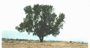 بالصور ما هي شجرة اليهود tree 310x165