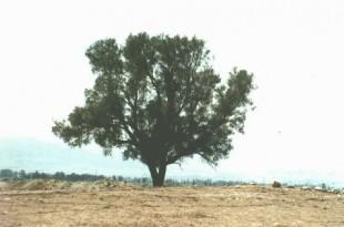صوره ما هي شجرة اليهود