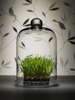 صورة طريقة تحضير عصير عشبة القمح
