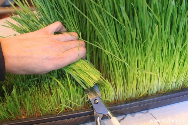 بالصور كيفية تحضير عصير عشبة القمح 20160615 1164