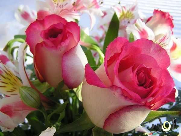 صوره اجمل صورة الورود النادرة