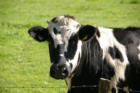 صوره تفسير حلم البقرة السوداء والبيضاء