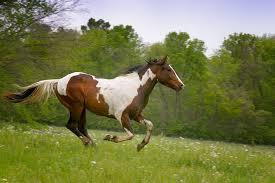صور صور وخلفيات خيول عربية اصيلة