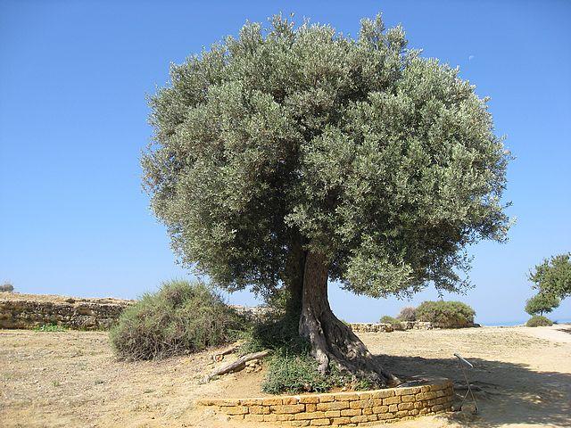 صوره تعبير عن شجرة الزيتون للصف التاسع