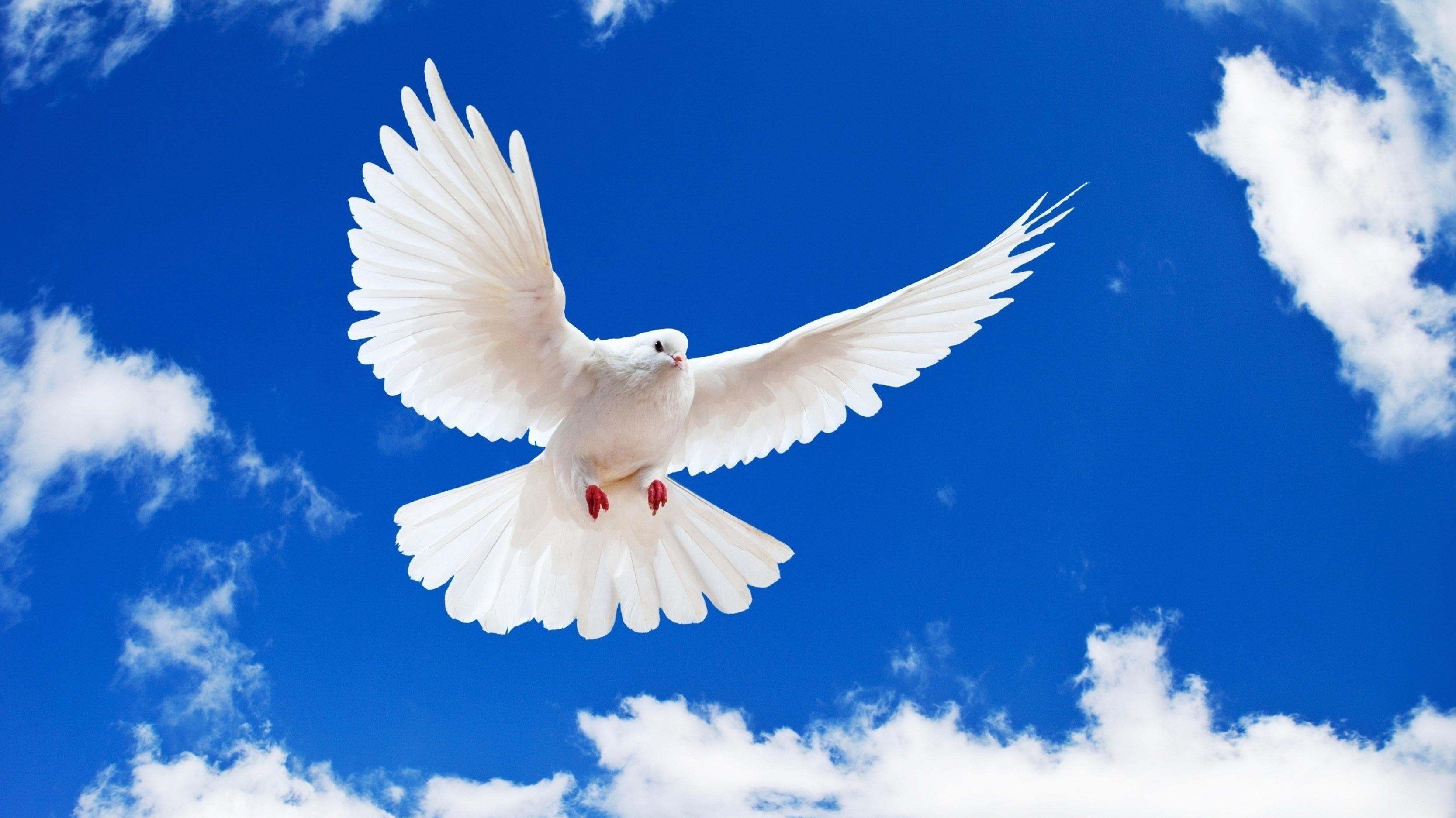 صوره حلمت بحمامة بيضاء في منام لابن سيرين