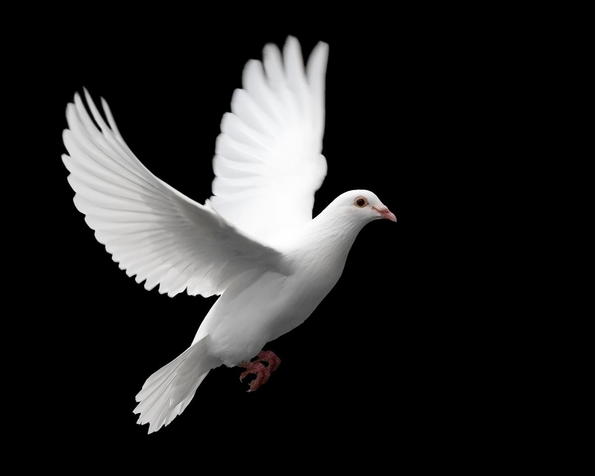 بالصور حلمت بحمامة بيضاء في منام لابن سيرين 20160620 614