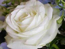 بالصور اجمل الورود البيضاء 2019 20160620 779