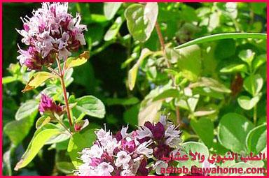 بالصور فوائد نبات البردقوش الكثيرة 20160623 542