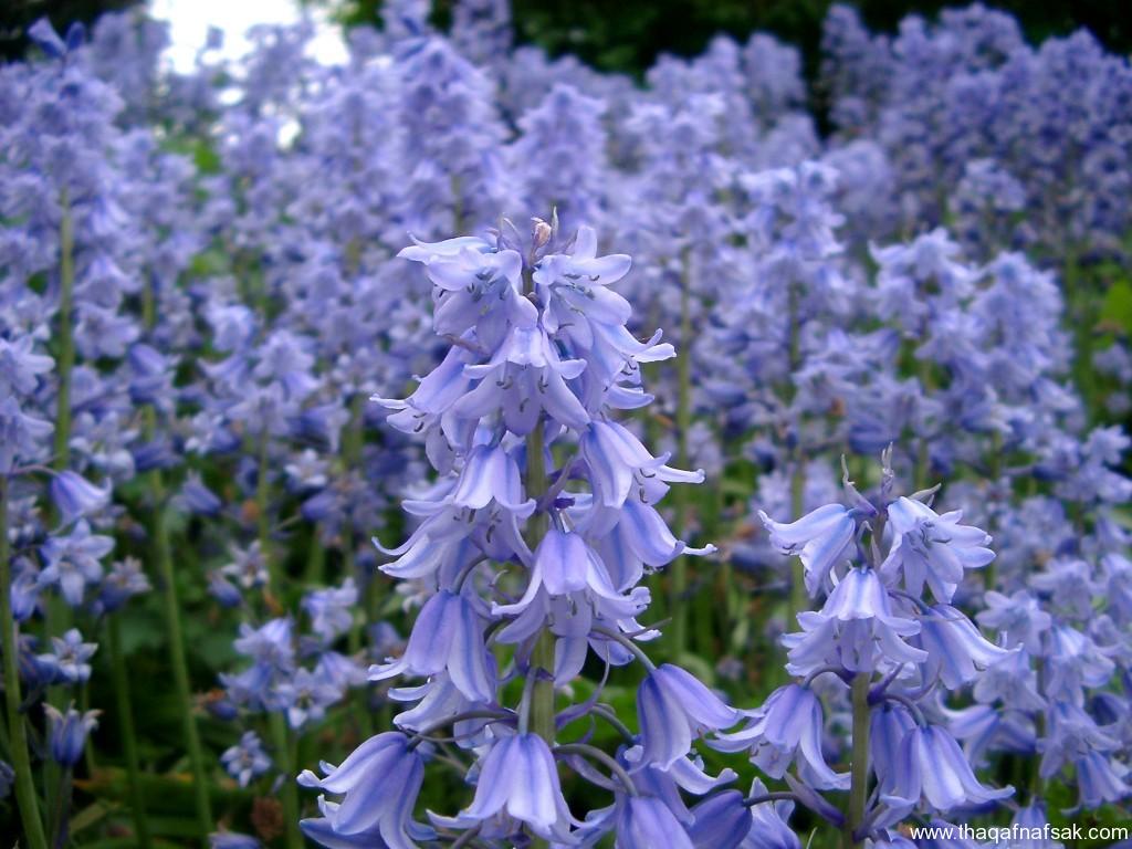 بالصور اجمل انواع الورود في العالم 20160624 1498