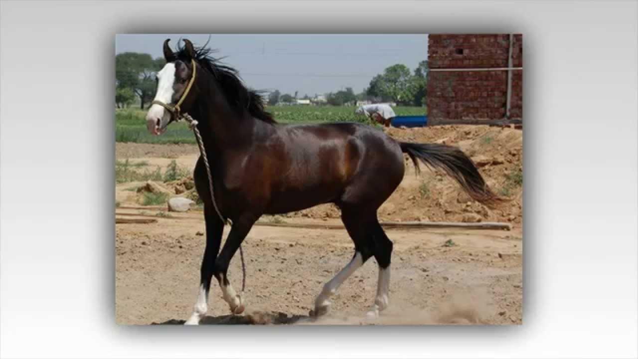بالصور تعرف علي انواع الخيول 20160625 1032