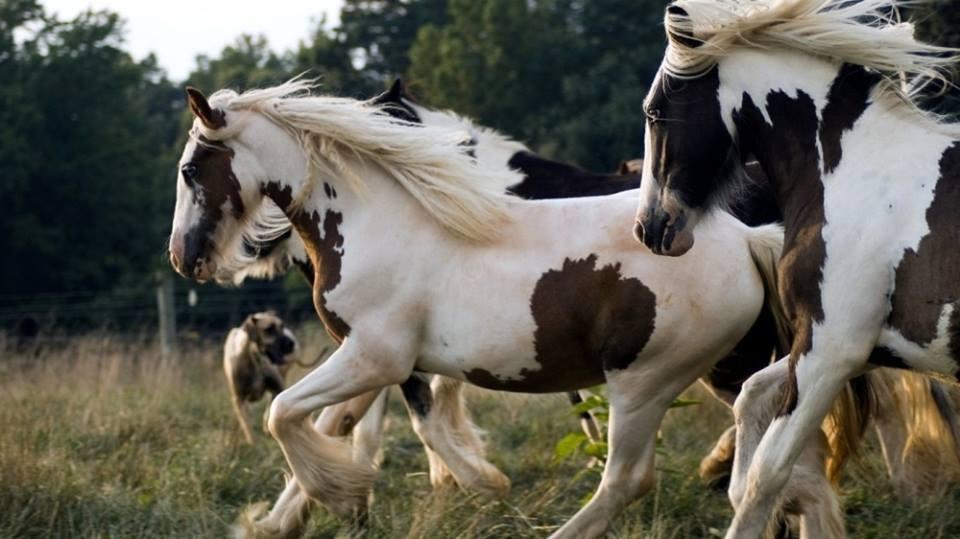 بالصور تعرف علي انواع الخيول 20160625 1033