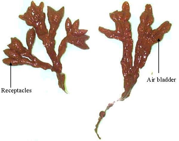 صور ما هي الطحالب البنية