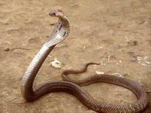 صوره اخطر انواع الثعابين فى العالم